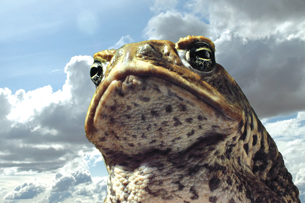 3d-Cane-Toad-1